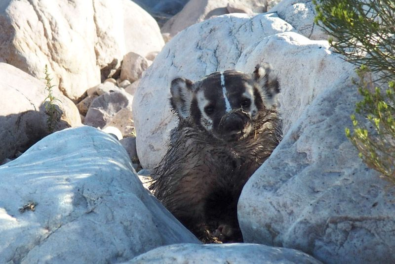 a badger is seen on the Great salt lake banks