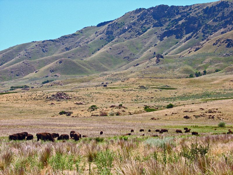 bisons grazing on Antelope Island State Park