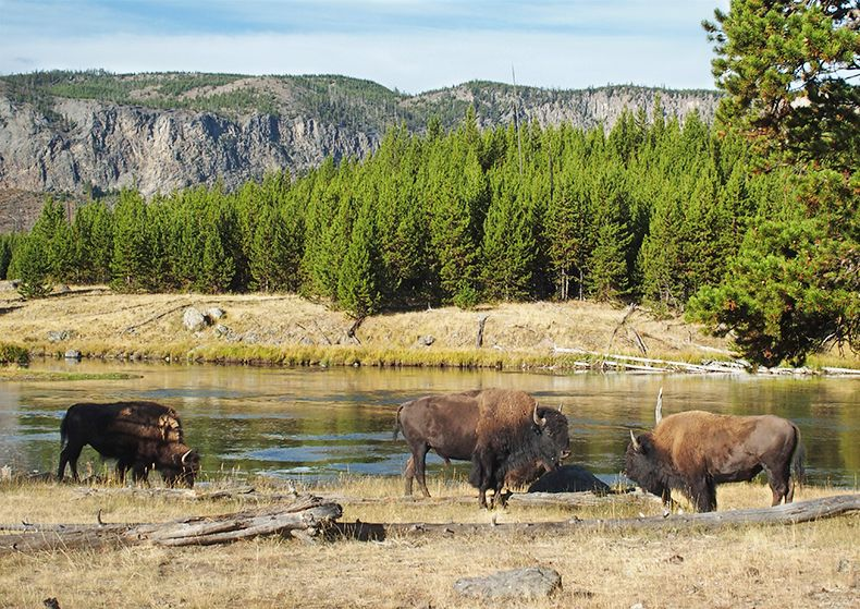 yellowstone Troupeau de bisons
