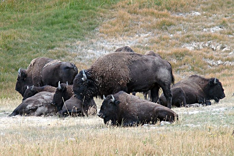 parc national de yellowstone bisons